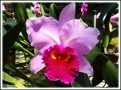 Lc. Irene Finney 'Spring Best', AM/AOS (Laeliocattleya hybrid) at Serendah International Orchid Park