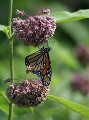 Monarch Butterfly (javacrat) Tags: nature butterfly wildlife westvirginia wildflower monongahelanationalforest