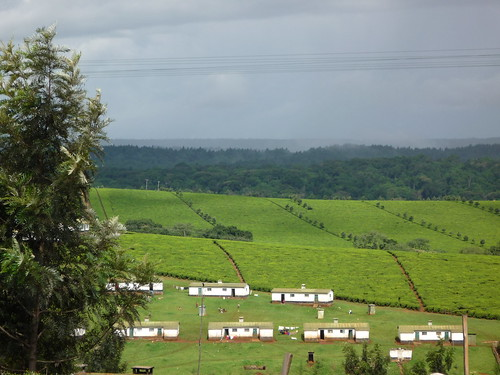 Kericho Tea Plantation
