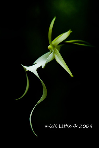 ghost orchid black 2 copy