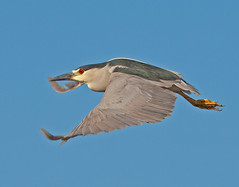 Black Crowned  Night Heron in flight against Blue Sky Royal Palm, Everglades National Park (kevansunderland) Tags: bluesky birdsinflight evergladesnationalpark royalpalm wadingbird birdphotography floridabirds heronblackcrownednightheron