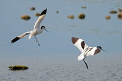 Flying Avocets (Recurvirostra avosetta) at Seal Sands (Steve Greaves) Tags: blackandwhite bird nature water flying inflight adult wildlife young aves lagoon naturalhistory avian avocet piedavocet recurvirostraavosetta sealsands sabic petrochemicalplant nikond300 globalbirdtrekkers nikonafsii400mmf28ifedlens