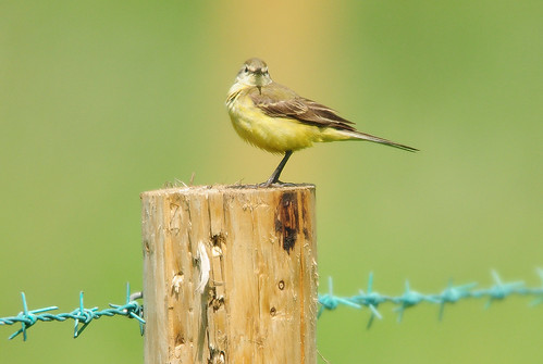 Yellow Wagtail (Motacilla flava) Female on a Fence Post with Blue Barbed Wire at RSPB Saltholme
