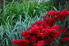 red flowers (Matevz Umbreht) Tags: red summer plant blur flower green nature floral beauty grass yellow garden bokeh vrt colorfull background rhododendron makro pisani ozadje rumeno barve rastline rdee azeleja