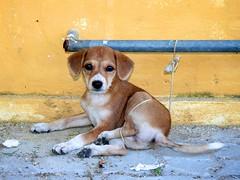 (bettybraun) Tags: dog india puppy tamilnadu pondicherry puducherry