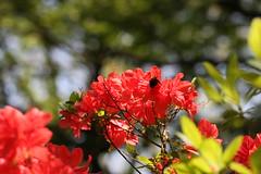 生田緑地のキリシマツツジ(Azalea at Ikuta Ryokuhi, Japan)