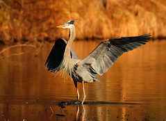 Great Blue Heron Landing At Sunset...Part Three of Three...Claiming Ownership of the Lake (ozoni11) Tags: sunset bird heron nature birds animal animals interestingness nikon 63 explore greatblueheron herons columbiamaryland d300 greatblueherons wildelake interestingness63 i500 explore63 michaeloberman ozoni11