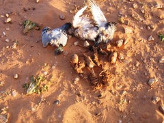 SOS   Outardes, Gazelles du Grand Sahara Algérien 3304848846_984dee7084_m