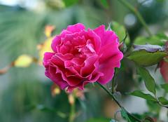 Wednesday's Rose is Full of WOW!! (kathleenjacksonphotography) Tags: life pink friends love nature rose florida god gratitude mybackyard letitbe encouragement myfrontyard platinumphoto