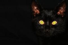 (Danel rn) Tags: cat canon eyes kitten kttur augu kettir kettlingur kettlingar blackkat canoneos400ddigital