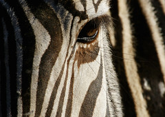Zebra2 (Kai Eiselein) Tags: africa wild copyright abstract animal closeup african stripes sony stripe zebra alpha striped equine equus 2011 a700
