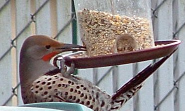 Red Shafted Flicker by you.