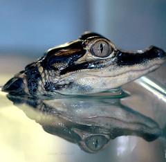 Live Evolution (gatorgalpics) Tags: gator alligator universityofflorida explore oneyearold uf 246 floridamuseumofnaturalhistory juvenilealligator