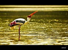 Painted stork (saternal) Tags: reflection bird stork paintedstork mycteria leucocephala goldenreflection saternal