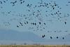 flock (zyrcster) Tags: sky birds wildlife cranes sanluisvalley migration sandhillcranes montevista gruscanadensis colorfulcolorado pfosilver montevistawildliferefuge tamronaf75300mm1458ld