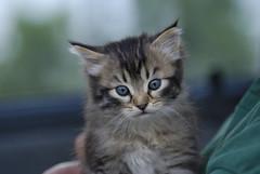 Gattino (masowar (often off, sorry!!)) Tags: cats animals cat nikon nikkor gatto gatti animali massimiliano gattini masowar massimilianoa