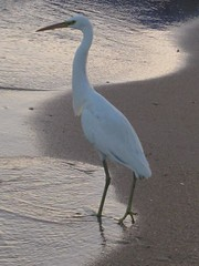 morning walk with an egret for company - unedited (syzygy_in) Tags: edge companion egret soe morningwalk unedited naamabay mywinners dragondaggeraward saariysqualitypictures