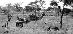 Osiyan - Wilderness is Peace (sachinritvika) Tags: rural village desert ethnic camels rajasthan turbans