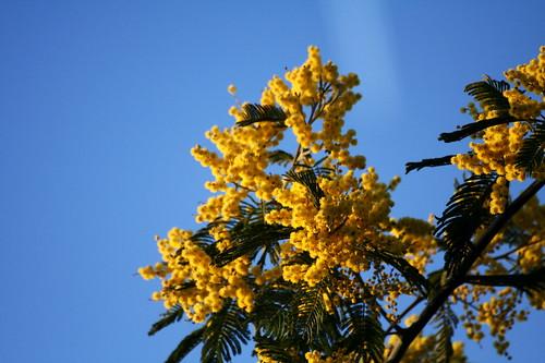 Mimosa jaune sur ciel bleu