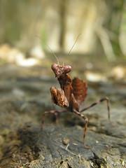 lil nymph (mantidboy) Tags: life wild pet macro bug mantis insect wildlife pray praying exotic prey mantid preying mantids