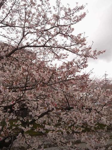 09-04-01【桜】@大和高田-06