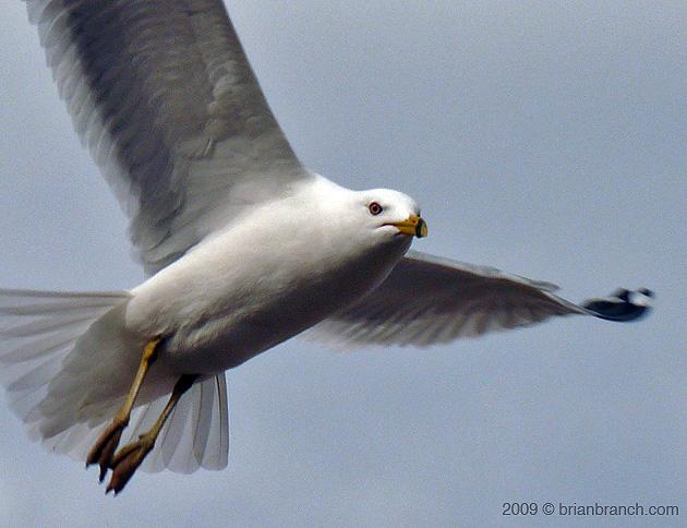 P1000457_seagull