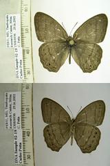 Paryphthimoides poltys