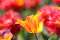 [フリー画像] [花/フラワー] [チューリップ] [オレンジ/花]        [フリー素材]