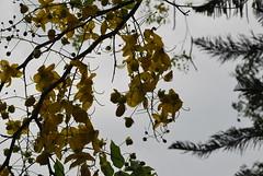 DSC_0995 (prasanthabythomas) Tags: flower kerala kanikonna