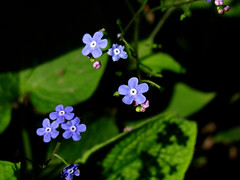 (Sinisa Palic) Tags: plant flower macro forgetmenot myosotis biljka cvet nezaboravak spomenak