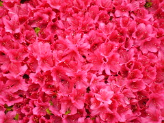 Flowers #42 (tt64jp) Tags: pink red plants plant flower color colour nature floral fleur colors japan japanese flora blossom flor bloom  flowering azalea  blume   flore kiryu