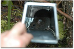 Captured Bush Rat - dougbeckers.com