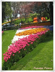bir dilim lale (papatyaprenses,com) Tags: istanbul tulip beyaz bahar yeil sar lale krmz pembe laleler emirgnkorusu