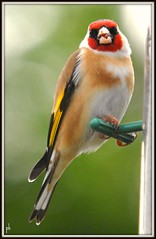 goldfinch ([]0eter howard) Tags: potofgold