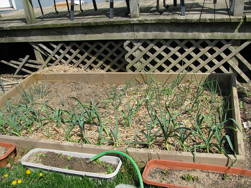 onions (back) garlic (front) lettuce containers