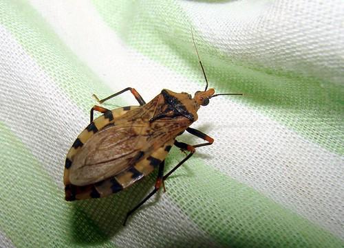 kissing bug. People who say Kissing Bug
