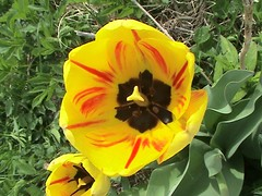 Blended Yellow-And-Red Tulip 002 (Chrisser) Tags: flowers ontario canada nature garden spring tulips gardening fourseasons bulbs closeups liliaceae sonydcrsr62