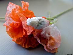 Couleurs Coquelicot (Le No) Tags: flower fleur 31 coquelicot hautegaronne midipyrnes stlon lauragais