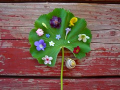 all on a lady's mantle (knitalatte11) Tags: ontario spring gardening snailshell ladysmantle noticing tinyblossoms shrinkingviolets blushingviolets gatheringforthimblevases