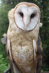 Common Barn Owl (1 of 4)