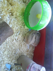 Mobile phone photos045 (ikieran97) Tags: toby hamsters jotoh