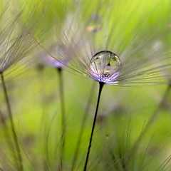 Seed in the Sphere (ecstaticist) Tags: mist macro green nature water grass photoshop high stem dynamic seed surface drop dandelion refraction droplet tension range liquid hdr hydrology photomatix viscocity hydrolic