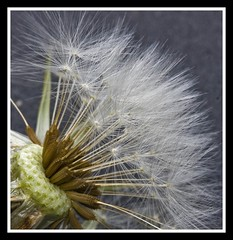 Dandelion Seeds (pixiepic's) Tags: flower dandelion seeds flowersandcolors platinumheartaward awesomeblossoms ruby10