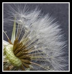 Dandelion Seeds (pixiepic's) Tags: flower dandelion seeds flowersandcolors platinumheartaward awesomeblossoms ruby10