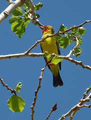 Western Tanager (annkelliott) Tags: canada tree male bird nature birds fauna outdoors lumix colorful wildlife branches bluesky alberta perched ornithology avian coaldale tanager westerntanager pirangaludoviciana birdofpreycentre southernalberta annkelliott nearlethbridge fz28 panasonicdmcfz28 commonmayseptember p1080518fz28