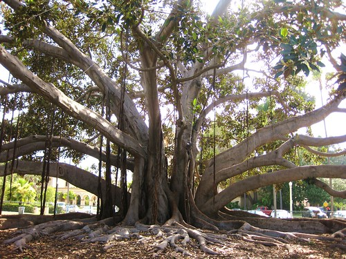 Moreton Bay Fig - San Diego