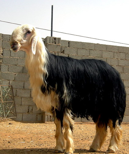 arabian sheep