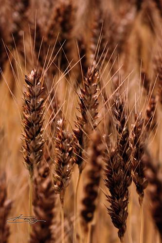 ダークに。。。麦畑。