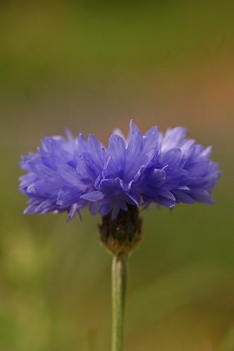 Centaurea cyanus | Korenbloem - Cornflower