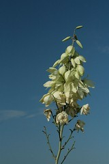 Yucca Gloriosa Blooms (johntestsgo) Tags: digitalrebelxti centraltexasflowers balconescanyonlandsnwr2009